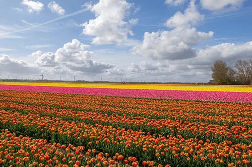campo de tulipanes mas grande del mundo