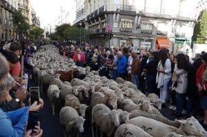 fiesta de la trashumancia madrid - ovejas madrid